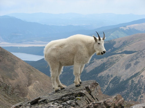 1200px-Mountain_Goat_Mount_Massive