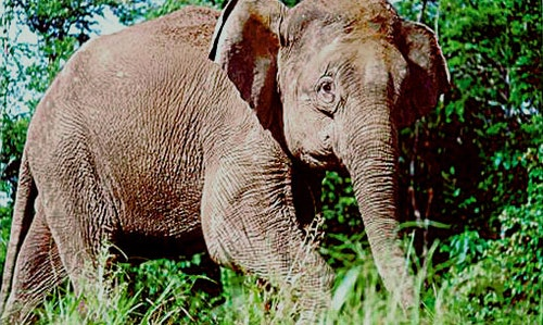 Borneo-elephant-PLoS_Biology
