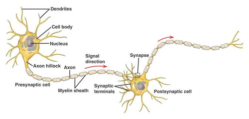1-Two-neurons-having-a-synaptic-connecti