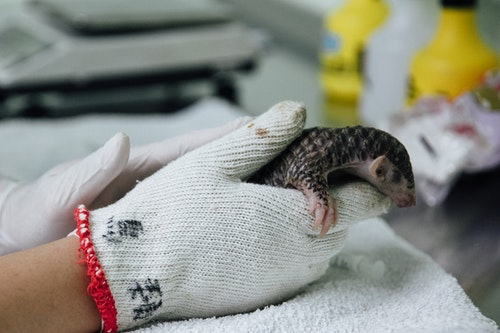 A_newborn_pangolin_is_being_manually_fed